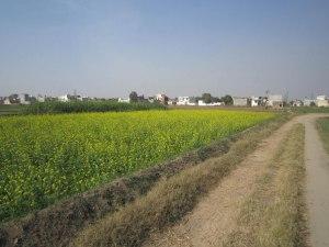 Индия Горчичное поле в Пенджабе
