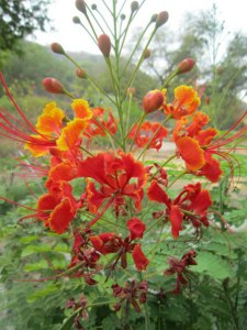 Индия Цветок Гульмохар