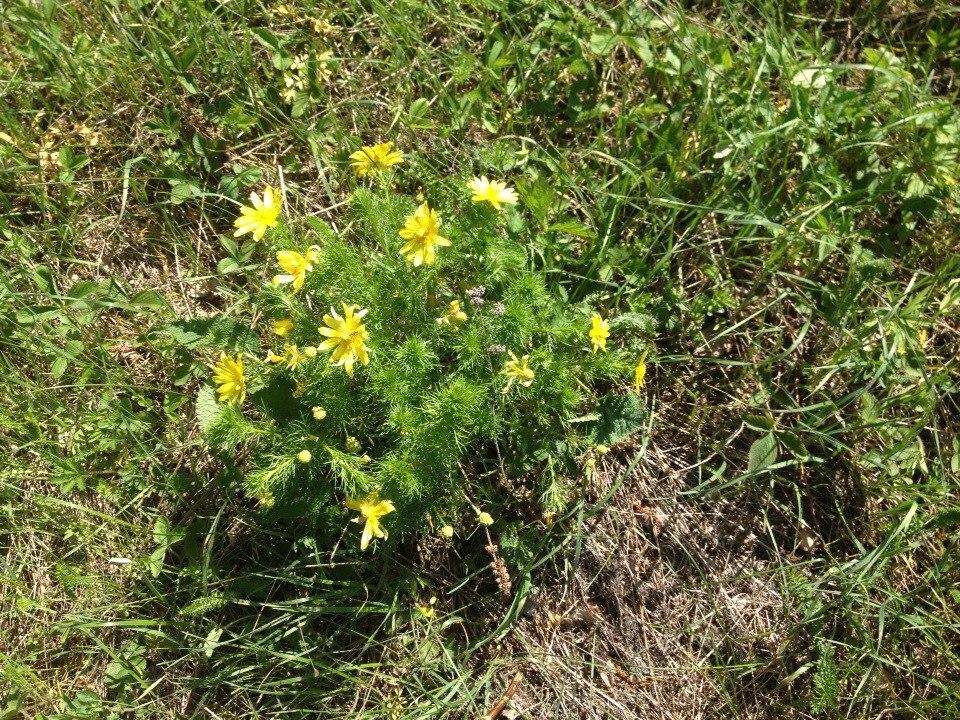 Ширяево цветок
