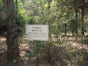 Растение Биостанции Спирея Вангутта