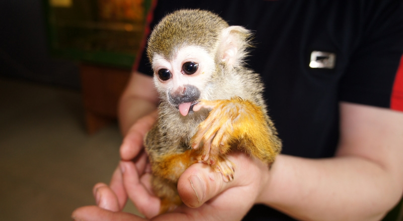 Как содержать обезьяну в домашних условиях - Priminfo