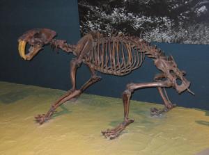 Скелет саблезубого тигра