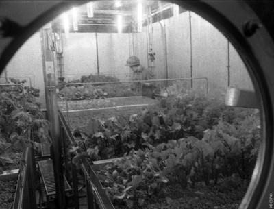 """На фото запечатлена часть отсека со специальным набором овощных и зерновыми культур, обеспечивающих газо- и водообмен, в установке «БИОС-3» за счет интенсивного биосинтеза. Видно, что культуры высеваются не одновременно, но с разбегом по времени. Шиленко М.П. за работой на «огороде» – собирает урожай во время шестимесячного эксперимента в экспериментальной автономной экосистеме """"Биос-3"""", проведенного в институте отделом биофизики в 1973 году. Фрагмент на видео https://youtu.be/X6XqUOP0nSs?t=181"""